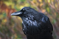 Common Raven in Jasper National Park (Lee Rentz) Tags: wild canada black bird nature smart animal closeup bill jasper head wildlife alberta northamerica raven corvid jaspernationalpark intelligent corvuscorax commonraven northernraven