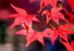 Colored Maple Leaves (love_child_kyoto) Tags: leica travel autumn macro nature japan kyoto autumnleaves    1001nights olympuspen  mapleleaves coloredleaves        summar50mmf2 shinnyodotemple microfourthirds  50mmf2   ringexcellence
