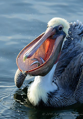 Peli with fish DSC6730112511 (Gitart) Tags: morning blue light food orange white fish nature water yellow sushi grey droplets drops pelican peli pacificbrownpelican platinumheartaward natureoutpost blinkagain bestofblinkwinners blinkagainsuperstars blinksuperstar
