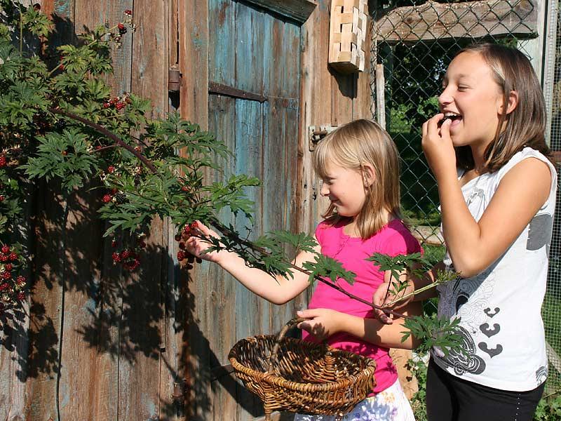Kirschblütenhof - Kinder pflücken Beeren