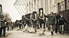 untitled-687 (Tony Golding) Tags: horse shire shirehorse tonygolding heavyhorsephotography