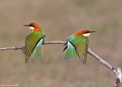 Chestnut-headed Bee-eater (Merops leschenaulti) @ Khao Yai National Park, Thailand_20120312_0406 (LawrenceNeo) Tags: chestnutheadedbeeeater