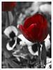 Los bulbos de invierno florecen en primavera (II) (Rodion Quidam) Tags: red flower tallo primavera bulb garden spring rojo stem flor petal desaturation tulip bloom violeta tulipa jardín pensamiento selectivedesaturation tulp bulbo tulipán pétalo violatricolor florecer desaturación violácea violaxwittrockiana violatricolorhortensis desaturaciónselectiva mygearandme mygearandmepremium