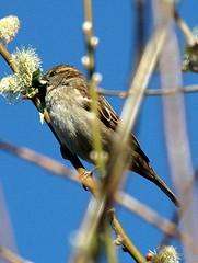 DSC_0018 Sparrow (PeaTJay) Tags: birds sparrow carlsbirdclub