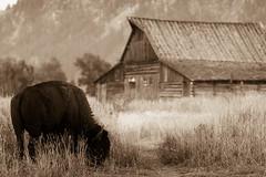 (HisPhotographs.com) Tags: wood old trees mountain mountains grass canon feeding bokeh eating bull telephoto horn bison sephia grandteton grandtetonmountains 14xextender moultonbarn lserieslens