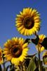 La belleza del girasol (Jose Casielles) Tags: color planta luz azul flor amarillo vida amistad belleza girasol yecla armonia fotografíasjcasielles