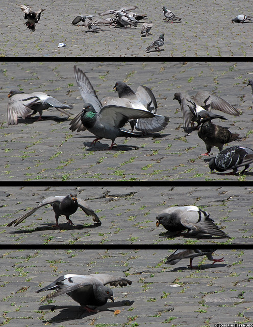 20110608_17 Tetraptych of pigeons feeding by the Colosseum | Rome, Italy | Right-click for more size options!
