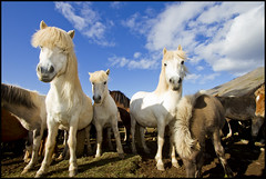 3 white horses (Gumundur Gubergsson) Tags: blue horses horse white nature beautiful beauty animal island caballo cheval iceland islandia crazy good north blonde blondie cavallo pferd gumundur sland rttir 1022 icelandic mummi himinn islanda hestar hestur hnavatnsssla andlit laxrdalur norurland strttir lislande skrapatungurtt gumundurgubergsson gubergsson hestarttir