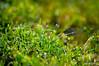 Glittering dew drops (parvezkhaled) Tags: green water grass glitter nikon sigma drop dew dhaka bangladesh d90 mawa flickraward maowa galleryoffantasticshots