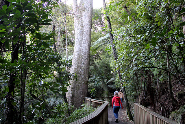Kauri boardwalk