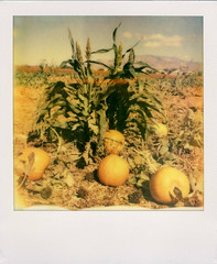 Pumpkin Patch (Nick Leonard) Tags: vegas autumn sky orange mountains green fall film nature field analog polaroid sx70 outdoors corn lasvegas nevada nick pumpkins sunny scan lightleaks cornstalks pinecones landcamera polaroidsx70 polaroidcamera instantfilm pumpkingpatch epson4490 polaroidsx70landcamera firstflush colorshade integralfilm nickleonard polaroidsx70model2 theimpossibleproject ndpackfilter px680 px680ff