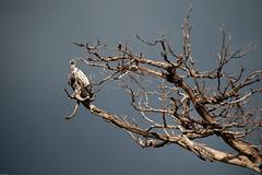 (jingjok) Tags: kenya vulture masaimara 70200mmf28gvr tc17eii