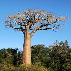Baobab ... by Zé Eduardo...