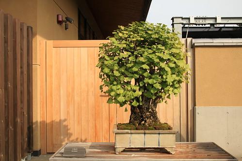 いちょう Icho (Gingko) - 盆栽美術館 - bonsai museum