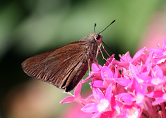 Lovely Little Brown Skipper Butterfly! =o) (kathleenjacksonphotography) Tags: friends detail nature butterfly insect florida skipper dogsallowed brandonfl brownskipper kerbysnursery
