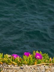 Clifftop colour 2 (Peter Knott) Tags: ocean pink blue sea cliff seascape flower newcastle australia olympus nsw e3 zuiko zd 50200mmswd