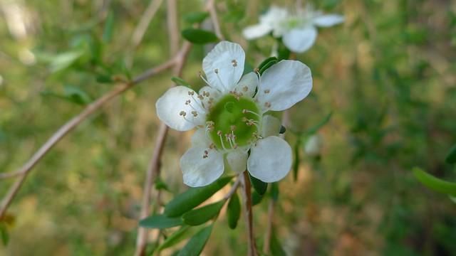 Weeping Tea-tree flower