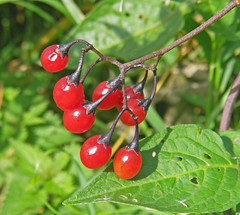 Woody Nightshade Berries (phillipbonsai) Tags: solanumdulcamara woodynightshade
