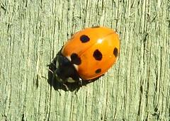 7 Spopt Ladybird
