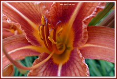 beauty goes to the heart of the matter (MEA Images) Tags: flowers macro nature wisconsin blossoms lilies blooms florals daylilies awesomeblossoms