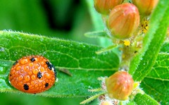 ladybug with dew,  aphids on butterflyweed (Martin LaBar) Tags: macro water beautiful drops beetle southcarolina dew ladybug buds bud lovely apocynaceae waterdrops aphid aphids coleoptera butterflyweed asclepiastuberosa pickenscounty