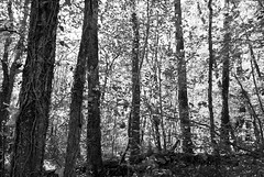 (Loc.) Tags: autumn blackandwhite bw france automne three noiretblanc lot nb bn arbre octobre 2011 rouffilhac blancoenegra