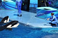 Water Jug EED (Seals4Reals) Tags: world ocean show sea one orlando florida killer whale orca seaworld shamu orcinus