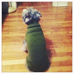 Cristal's Sweater (CatPeters) Tags: dog knitting knit schnauzer dogsweater lionbrand hipstamatic standardflash blankofilm helgavikinglens