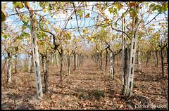 Il mio autunno (Chiara Riccia) Tags: campagna uva autunno chiara vino veglie parchi salice ottobre novoli campi viti negramaro riccia leverano uliti guagnano chiararezza chiararezza7