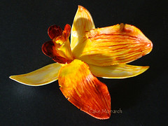 Orchid Flower – Iwanagara ( Month of March Flower) – Made by gum paste and hand painted