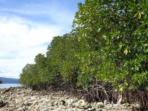 Uplifted mangroves in Buri, Ranonga Island. Photo by Anne-Maree Schwarz, 2007