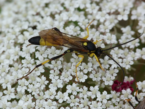 Ichneumon Fly (Amblyteles armatorius) by Peter Orchard