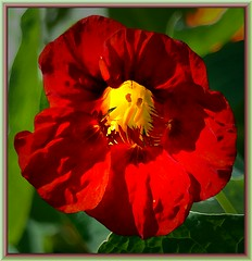 Nasturtium's secrets (Walter A. Aue) Tags: autumn canada watercolor novascotia nasturtium digitallymodified walteraaue