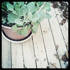 Mom's baby collards, growing on the deck