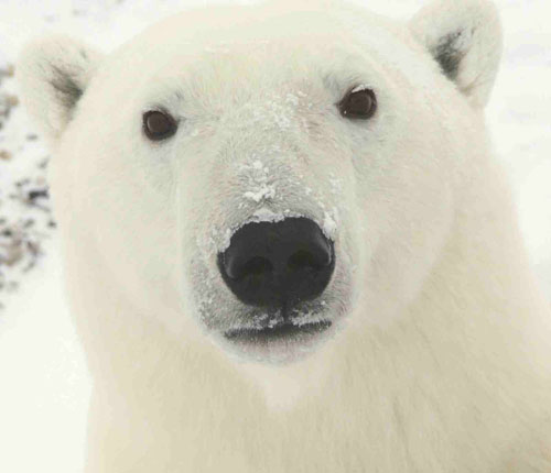 Polar_Bear_face.jpg