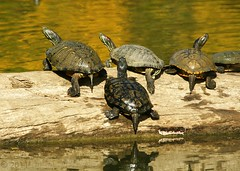 The turtles of Campion Trail (Shutter_Hand) Tags: autumn usa fall water animal fauna log agua texas turtle sony turtles otoo irving alpha tortuga tronco tartaruga sunbathing tortue tortugas  schildkrte 2011 a700 penyu kilpikonna     asoleandose skildpadde asolear  miguelmendoza sonyalphaa700 campiontrail lenscraft  turtar sigma150500mmf563dgoshsmapoaflens
