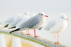 Pewit - Wed, 16th Nov 2011 - With family? (Design Andy) Tags: world snowflake november winter girls boy roses summer people bw cats white snow black flower color andy boys girl sport kids cat photoshop canon out logo design skåne kid flickr december seagull gull text year internet ps adobe cs blomma sverige welcome enter blommor katter malmö svensson edit januari färg 2012 2010 sommar katt roser personer 2011 2013 pewit mywinners anawesomeshot flickraward designandy mygearandme