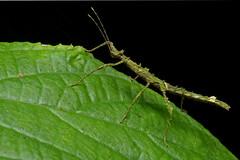 Stick bug (ggallice) Tags: laselvabiologicalstation laselva heredia sarapiqui costarica centralamerica ots organizationfortropicalstudies research jungle rainforest