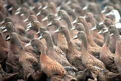 Peking Ducks Go Marching In (* Hazman Zie *) Tags: china ducks 135mm 135l taizhou pekingducks canonef135f2lusm 5dmk11