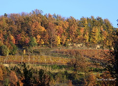 Autumn in the Piedmont-Italy's vineyards (Xena*best friend*) Tags: autumn red italy colors yellow landscape vineyard woods italia colours shades piemonte tones autunno piedmont vigne bosco beautifulscenery canonef70300mm absolutelystunningscapes eosrebelt1i calmrurallifestyle