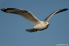 Ring billed Gull (more below) (gcampbellphoto) Tags: bird canon gull american northernireland bif rarity ringbilledgull irishwildlife