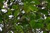 Small squirell (Christophe Maerten) Tags: fauna landscape highlands flora small orava cloudforest habitat landschap squirell nevelwoud eekhorn malaysiathailand2011