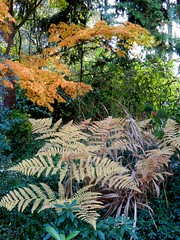 Texture and color, a variety of ferns, Japanse maples, bushes, trees, Broadview, Seattle, Washington, USA (Wonderlane) Tags: seattle trees usa washington ferns bushes broadview dscn2342 varietyofferns japansemaples