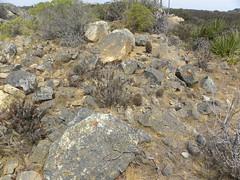 DSCN8386 (Robby's Sukkulentenseite) Tags: chile cactus cacti habitat reise intermedia kaktus pichidangui kakteen eriosyce standort subgibbosa neoporteria rb2015 ka3387s ka4749s