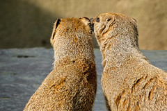 Love is in the air (Channed) Tags: love zoo couple rhenen mongoose dierentuin yellowmongoose ouwehandsdierenpark vosmangoest chantalnederstigt