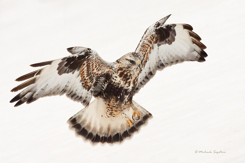 _MG_9785-Edit Rough-legged Hawk