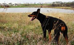 Max (Drjones266) Tags: dog cute doberman canondslr bigdog dogportrait dogpose dogwatching canon85mm18 canon60d happydoberman dobermanposing dogandlake tireddoberman
