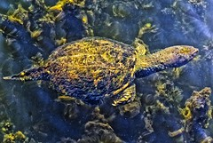 Turtle (Kansas Poetry (Patrick)) Tags: turtle lawrencekansas bakerwetlands wakarusawetlands patrickemerson patricklovesnancy