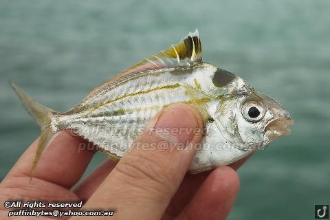 Spotnape Ponyfish - Nuchequula nuchalis