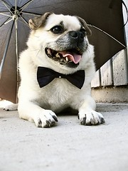 dog cute puppy bowtie clothes organiccotton